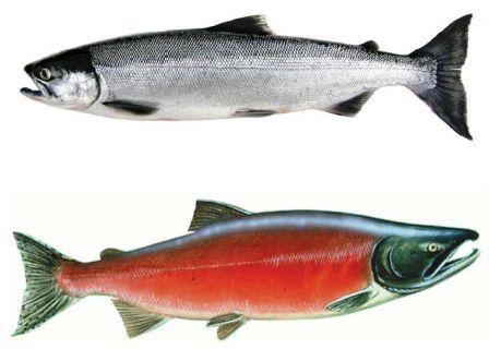Alaska Salmon Runs Types Of Salmon