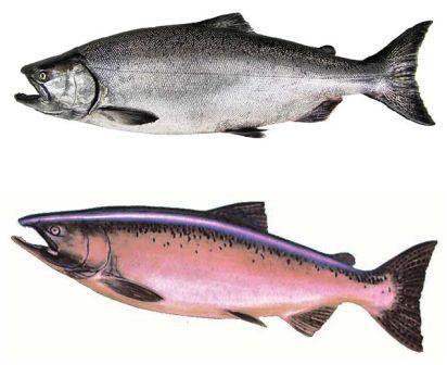 alaska-salmon-runs-3 Trailer Wiring Connection Kit on