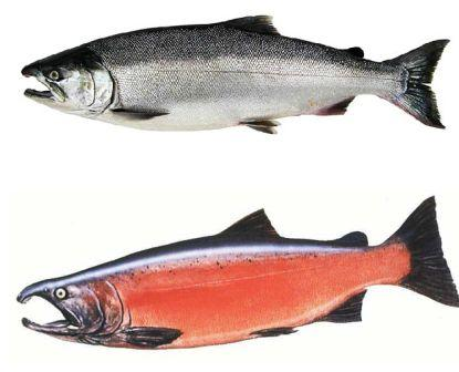 24 Volt Marine Battery >> Alaska Salmon Runs, Types of Salmon