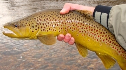 Arkansas Brown Trout