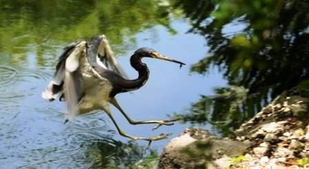 Florida Heron Fishing