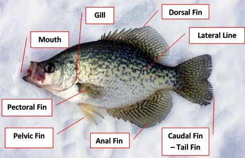fish anatomy, fish diagram, anatomy of a fish